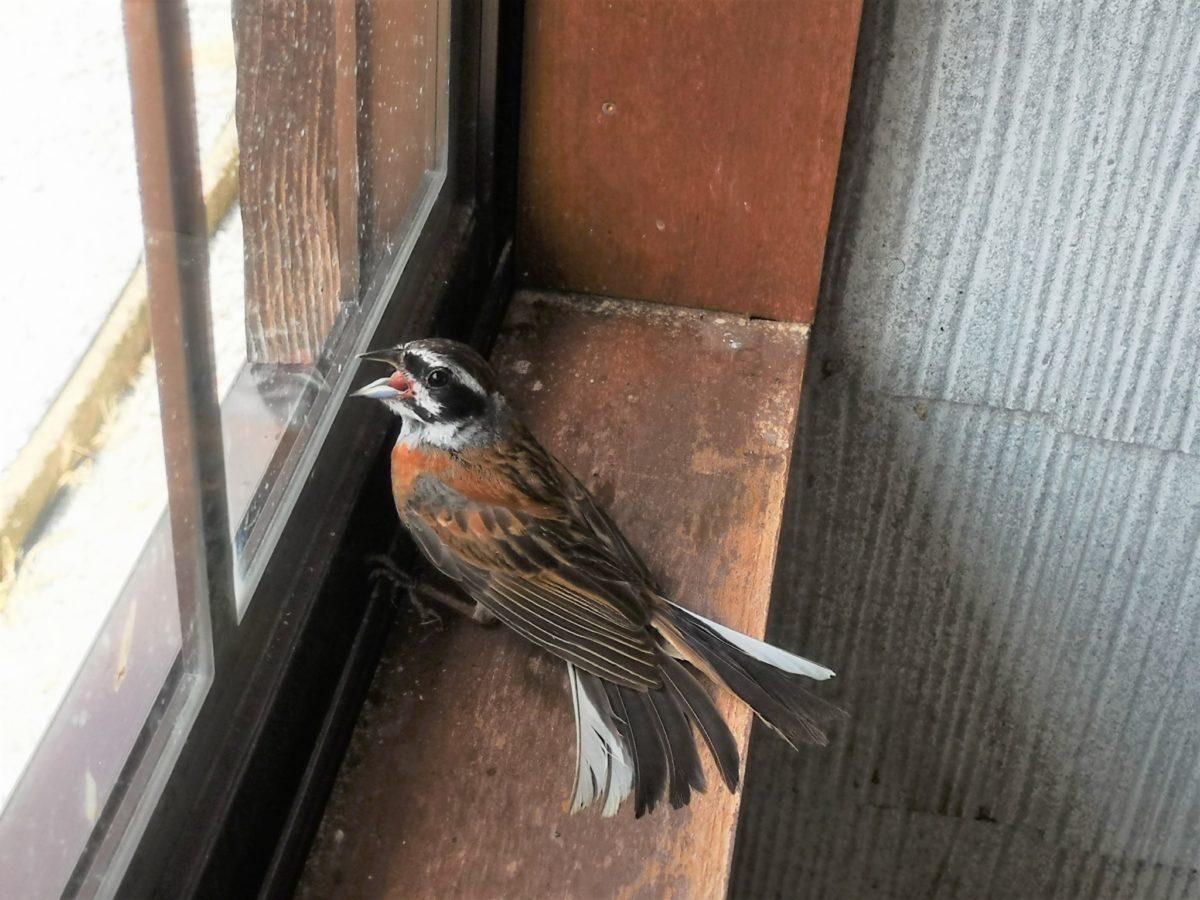 鳥が袋小路に迷い込んで外に出たがっています